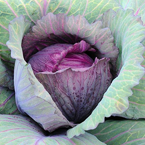 David's Garden Seeds  1 David's Garden Seeds Cabbage Red Acre SL5433 (Purple) 500 Non-GMO
