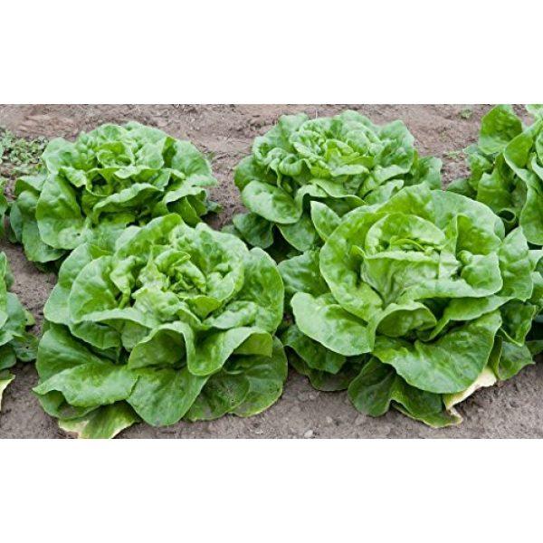 Liliana's Garden Heirloom Seed 2 Lettuce Seeds - Butterhead, Buttercrunch - Heirloom - Includes Growing Booklet - Liliana's Garden