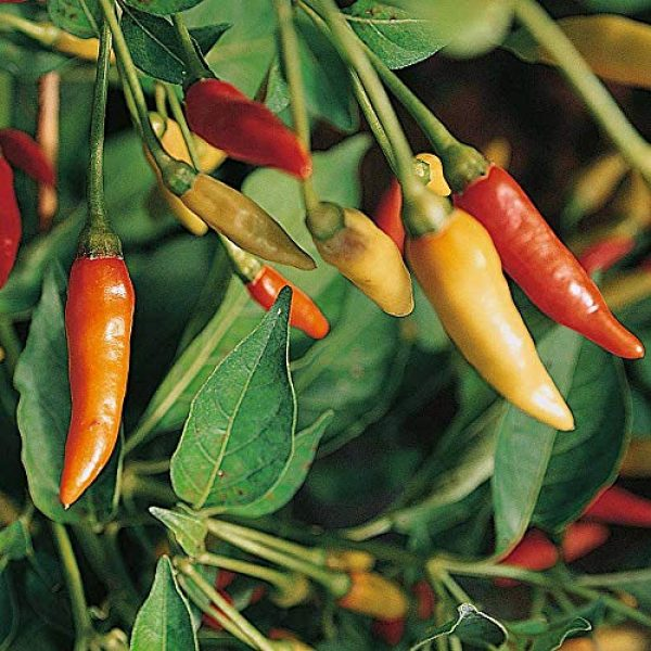 Isla's Garden Seeds Heirloom Seed 2 Tabasco Hot Peppers Seeds, 100+ Premium Heirloom Seeds, 90% Germination Rates Hot and Full of Flavor! A Must Have for Your Home Garden!, (Isla's Garden Seeds), Non GMO, Highest Quality Seeds.