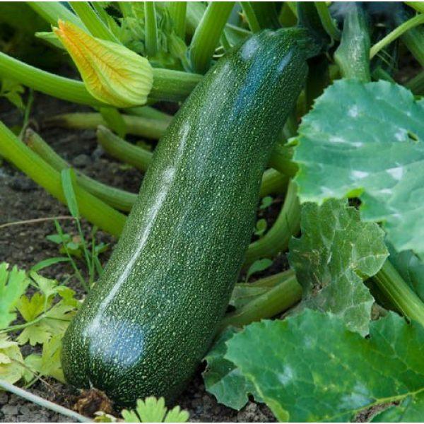 Isla's Garden Seeds Organic Seed 2 Dark Green Zucchini Summer Squash Seeds, 50+ Premium Heirloom Seeds, Fantastic Addition to Home Garden!, (Isla's Garden Seeds), Non GMO Organic, 90% Germination, 100% Pure, Highest Quality Seeds