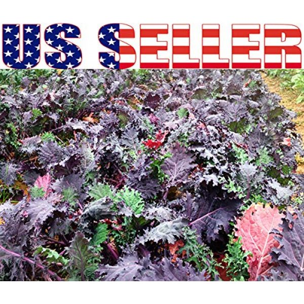 Harley Seeds Heirloom Seed 5 HARLEY SEEDS 1000+ Kale Mixed Seeds Please Read! This is a Mix!!! Dwarf Blue Curled, Lacinato Dinosaur, Siberian Dwarf, Russian Red, Heirloom Non-GMO USA Grown