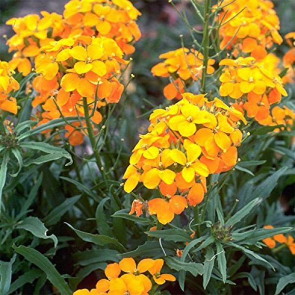 SEEDS OF CHANGE Organic Seed 4 Seeds Of Change 8175 Certified Organic Siberian Wallflower