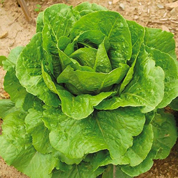 Seedz Organic Seed 2 Organic Lettuce Seeds, APPR. 1,100, Parris Island Romaine Lettuce, Heirloom Vegetable Seeds, Certified Organic, Non GMO, Non Hybrid, USA