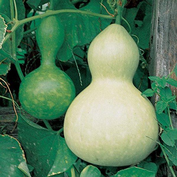 Burpee Heirloom Seed 1 Burpee Ornamental Large Bottle Gourd Heirloom Gourd Seeds 50 seeds