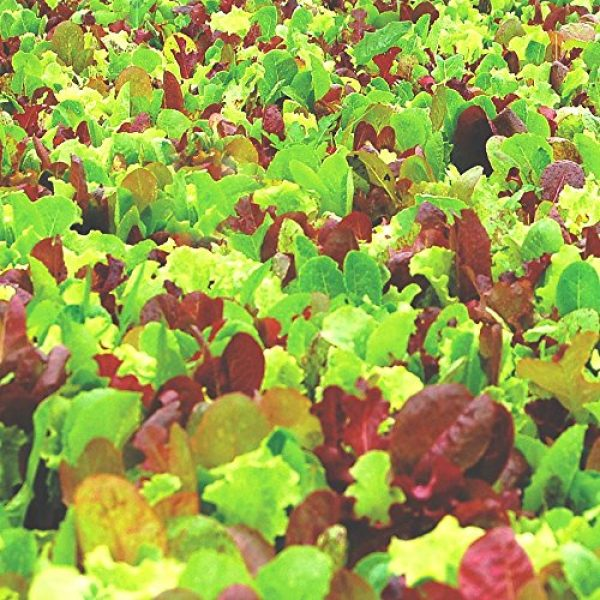 Seedz Organic Seed 2 Organic Lettuce Seeds, APPR. 1,100, Lettuce Blend, Heirloom Vegetable Seeds, Certified Organic, Non GMO, Non Hybrid, USA