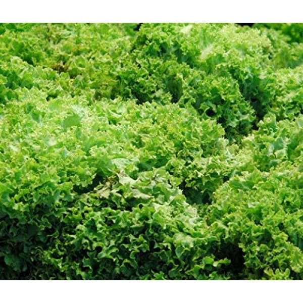 "Isla's Garden Seeds Organic Seed 4 ""Green Ice"" Lettuce Seeds, 1000+ Premium Heirloom Seeds, On Sale, (Isla's Garden Seeds), Non Gmo Organic, 85% Germination, Highest Quality Seeds, 100% Pure"