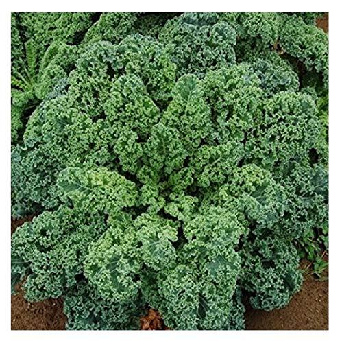 David's Garden Seeds  1 David's Garden Seeds Kale Blue Curled Scotch SL3114 (Green) 200 Non-GMO