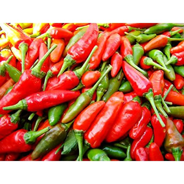 Harley Seeds Heirloom Seed 2 30+ Brazilian Pimenta Malagueta Hot Pepper Seeds Heirloom Non-GMO, Tabasco Type, Spicy, Delicious! from USA