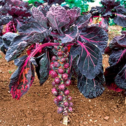 Fertile Ukraine Seeds  4 Seeds Brussels Sprouts Rosella Purple Cabbage Vegetable Heirloom Ukraine