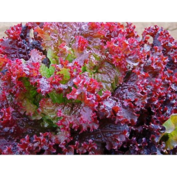Isla's Garden Seeds Heirloom Seed 2 Lolo Rosso Leaf Lettuce Seeds, 500+ Premium Heirloom Seeds, Beautiful Green Color with Dark Pink Edges, (Isla's Garden Seeds), Non GMO,85-90% Germination Rates, Highest Quality Seed, 100% Pure
