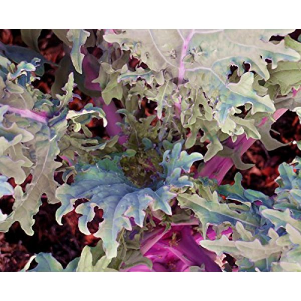 Harley Seeds Heirloom Seed 2 HARLEY SEEDS 1000+ Kale Mixed Seeds Please Read! This is a Mix!!! Dwarf Blue Curled, Lacinato Dinosaur, Siberian Dwarf, Russian Red, Heirloom Non-GMO USA Grown