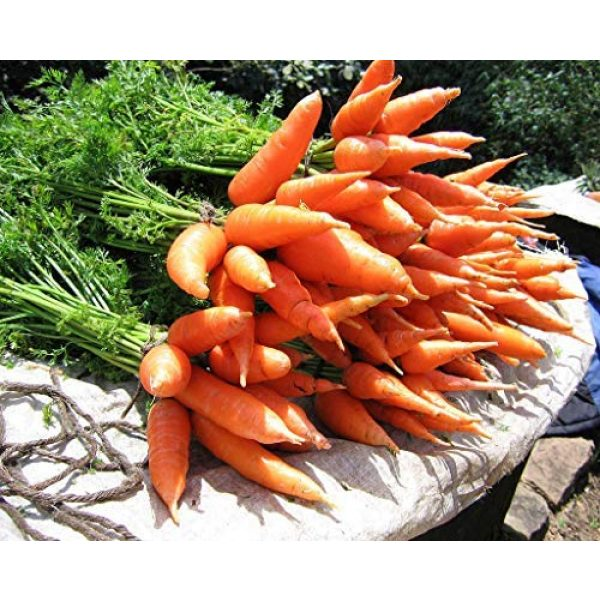 Isla's Garden Seeds Heirloom Seed 4 Red Cored Chantenay Carrot Seeds, 1000+ Premium Heirloom Seeds, Gardeners Choice!, (Isla's Garden Seeds), 85-90% Germination Rates, Non GMO, Highest Quality.