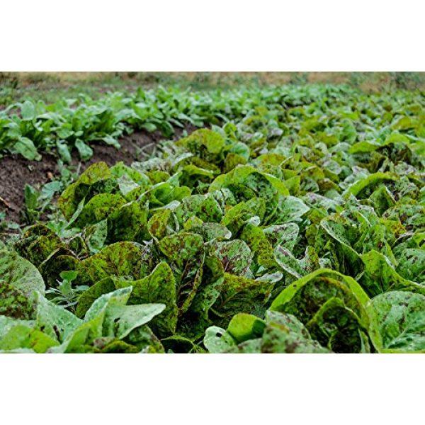 Isla's Garden Seeds Heirloom Seed 2 Freckles Romaine Lettuce Seeds, 1000+ Premium Heirloom Seeds, Popular & Top Seller, (Isla's Garden Seeds), Non GMO, 85-90% Germination Rates, Highest Quality, Highest Purity