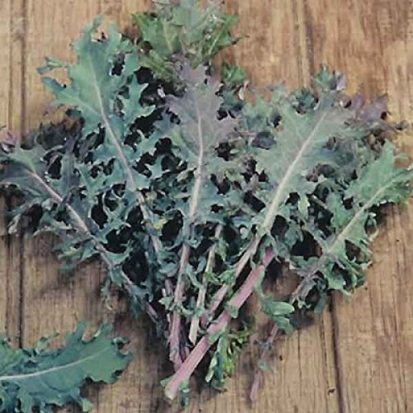 "Isla's Garden Seeds Organic Seed 2 ""Red Russian"" Kale Seeds, 750+ Premium Heirloom Seeds, ON SALE!, Top Selling Kale Seed, (Isla's Garden Seeds), Non Gmo Organic, 85% Germination Rates, Highest Quality Seeds, 100% Pure"