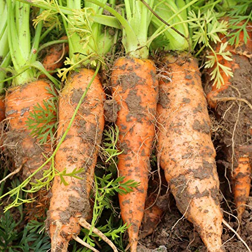 Mistyrain  4 Carrot Seeds Vegetable Seeds Organic Garden Planting Seeds Perennial Fresh Seeds Bonsai Nutritious Seeds for Home Garden Yard Roof Planting Outside Door Home Plant for Cooking Dish Soup Non-GMO