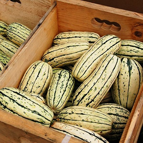 Seedz Organic Seed 2 Organic Squash Seeds, APPR. 25, Delicata Squash, Heirloom Vegetable Seeds, Certified Organic, Non GMO, Non Hybrid, USA