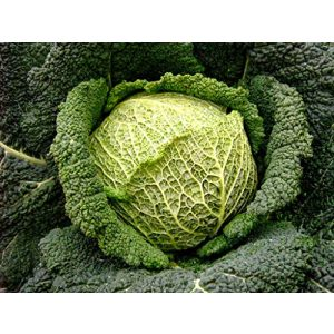 SeedsUA  1 Seeds Savoy Cabbage Vertus Beautiful Vegetable Heirloom Ukraine for Planting