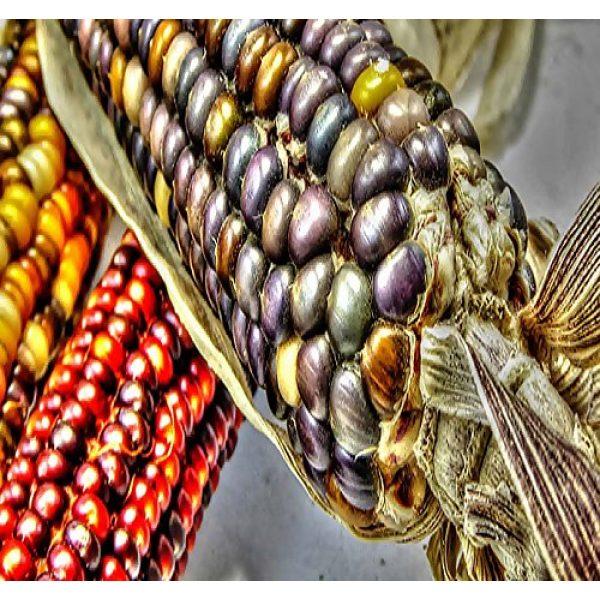 MySeeds.Co - VEGETABLE Seeds by the LB Heirloom Seed 6 1 lb (1,600+ Seeds) Indian Corn Seed - Oldest Varieties of Heirloom Corns - Non-GMO Seeds by MySeeds.Co (1 lb Indian Corn Mix)