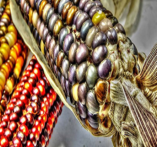 600+ Seeds) Indian Corn Seed - Oldest Varieties of Heirloom Corns - Non-GMO Seeds by MySeeds.Co (1 lb Indian Corn Mix)
