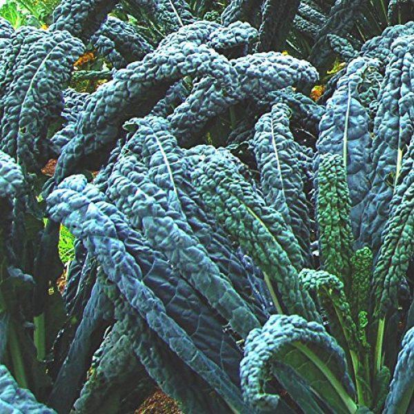 Seedz Organic Seed 2 Organic Kale Seeds, APPR. 550, Lacinato Kale, Heirloom Vegetable Seeds, Certified Organic, Non GMO, Non Hybrid, USA
