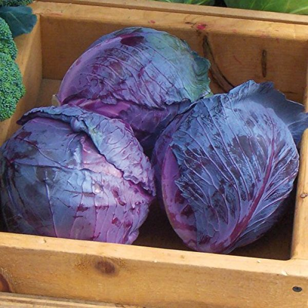 Seedz Organic Seed 2 Organic Cabbage Seeds, APPR. 550, Red Express Cabbage, Heirloom Vegetable Seeds, Certified Organic, Non GMO, Non Hybrid, USA
