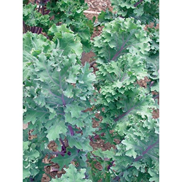 Burpee Organic Seed 2 Burpee Red Winter Kale Seeds 345 seeds