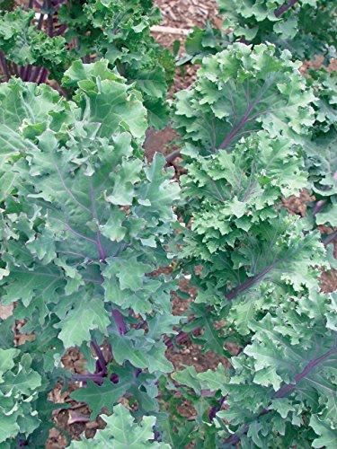 Burpee  2 Burpee Red Winter Kale Seeds 345 seeds