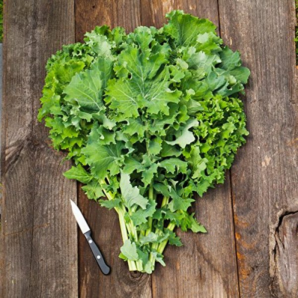 Seedz Organic Seed 2 Organic Kale Seeds, APPR. 550, Siberian Kale, Heirloom Vegetable Seeds, Certified Organic, Non GMO, Non Hybrid, USA