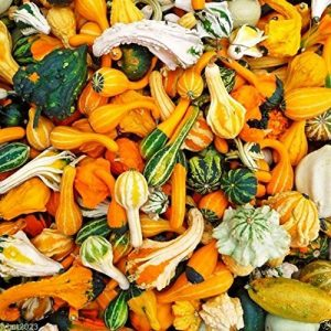Sow No GMO Organic Seed 1 Organic Non-gmo Ornamental Gourd Mix 25 Seeds - Open-pollinated (Small Mixed)
