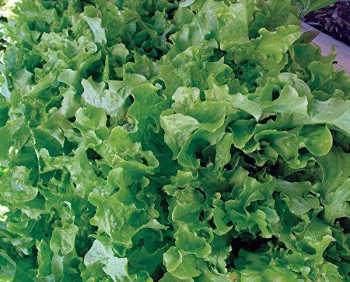 Burpee  2 Burpee Green Salad Bowl Organic Lettuce Seeds 1100 seeds