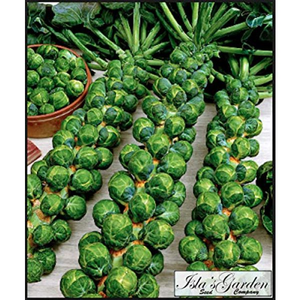 """Isla's Garden Seeds Organic Seed 2 """"Long Island Improved"""" Brussel Sprout Plant Seeds, 200+ Premium Heirloom Seeds, ON SALE!, (Isla's Garden Seeds), Non Gmo Organic, 99.7% Purity"""