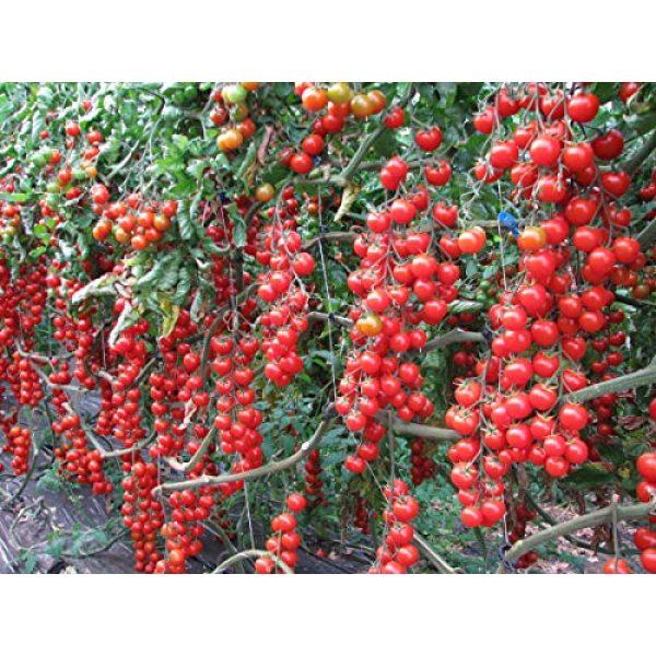 Fertile Ukraine Seeds Heirloom Seed 4 Seeds Cherry Tomato Red Early Vegetable Heirloom Ukraine