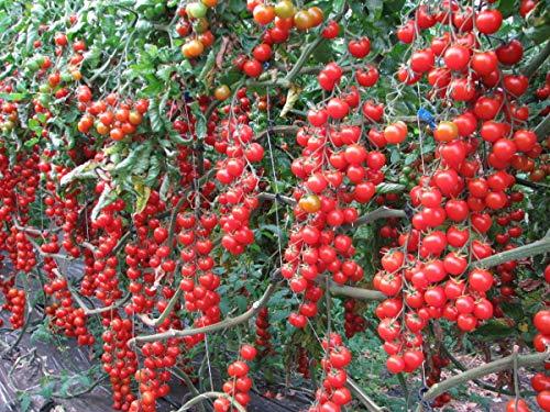 Fertile Ukraine Seeds  4 Seeds Cherry Tomato Red Early Vegetable Heirloom Ukraine