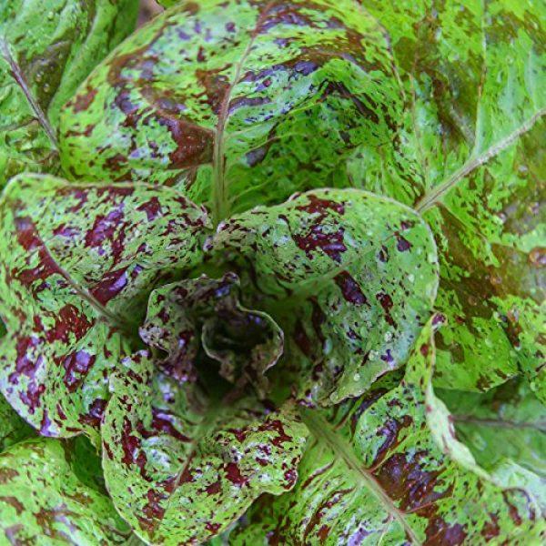 Isla's Garden Seeds Heirloom Seed 4 Freckles Romaine Lettuce Seeds, 1000+ Premium Heirloom Seeds, Popular & Top Seller, (Isla's Garden Seeds), Non GMO, 85-90% Germination Rates, Highest Quality, Highest Purity