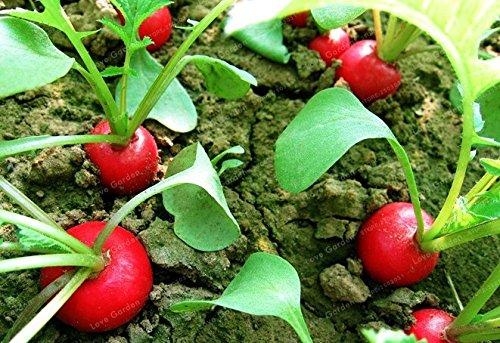 Non-GMO Organic Heirloom Radish Seeds