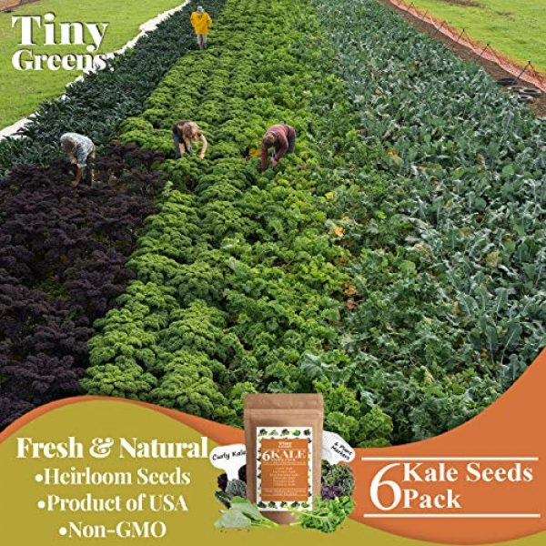 Tiny Greens Heirloom Seed 4 Grow Kale Seeds 6 Collection Pack for Planting(600 Seeds) Lacinato Kale Seeds, Curly Kale, Red Russian, Dwarf Siberian, Premier Kale, Chinese Kale | Heirloom Seeds Vegetables Non-GMO Vegetable Seeds