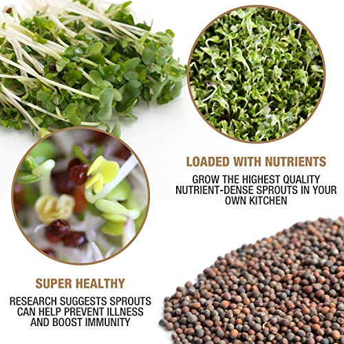Masontops  3 Mumm's Sprouting Seeds - Classic Big Broccoli Sprouts - 200 GR - Sprout Your Own Organic Microgreens - Easy Sprouter Kit