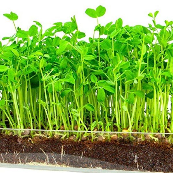 Country Creek Seeds Organic Seed 3 Green Pea Sprouting Seed, Organic, Non GMO - 6 oz - Country Creek Brand - Green Peas for Sprouts, Garden Planting, Cooking, Soup, Emergency Food Storage, Vegetable Gardening, Juicing, Cover Crop
