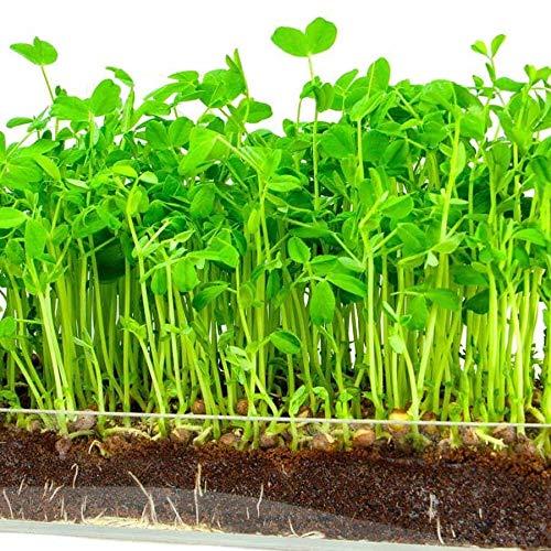Non GMO - 6 oz - Country Creek Brand - Green Peas for Sprouts