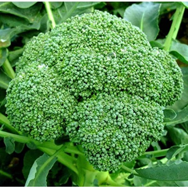 Isla's Garden Seeds Heirloom Seed 1 Broccoli Calabrese Sprouting Seeds, 1000+ Premium Heirloom Seeds, Excellent for Home Garden! (Isla's Garden Seeds), Non GMO, 85% Germination Rates, Seeds