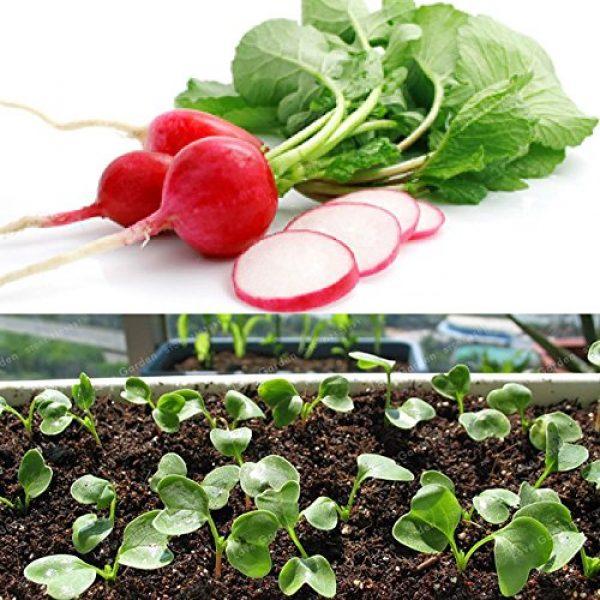 Panago Seeds Organic Seed 3 240+ Radish (Cherry Belle) Seeds for Garden Planting, Non-GMO Organic Heirloom Radish Seeds