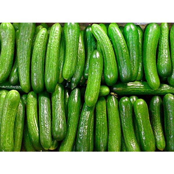 Harley Seeds Heirloom Seed 1 30+ Persian Beit Alpha (A.k.a. Lebanese) Cucumber Seeds Heirloom NON-GMO Crispy Fragrant From USA