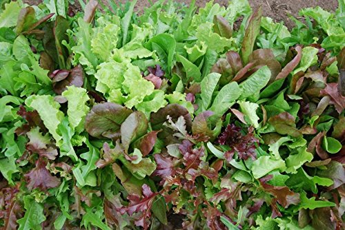 Dirt Goddess Super Seeds  2 Bulk Organic Mesclun Mix Seeds (1 LB) 425