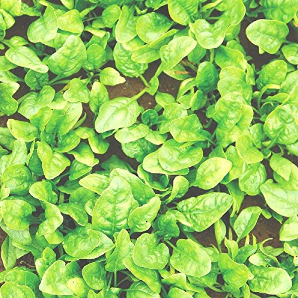 Seedz Organic Seed 2 Organic Spinach Seeds, APPR. 225, Butterflay Spinach, Heirloom Vegetable Seeds, Certified Organic, Non GMO, Non Hybrid, USA