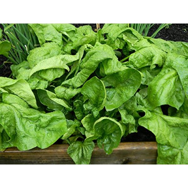 Ohio Heirloom Seeds Heirloom Seed 3 Heirloom Spinach Seed Assortment- 4 Varieties- 600+ Seeds