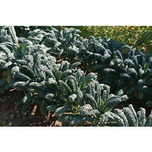 David's Garden Seeds  1 David's Garden Seeds Kale Toscano SL2123 (Green) 500 Non-GMO