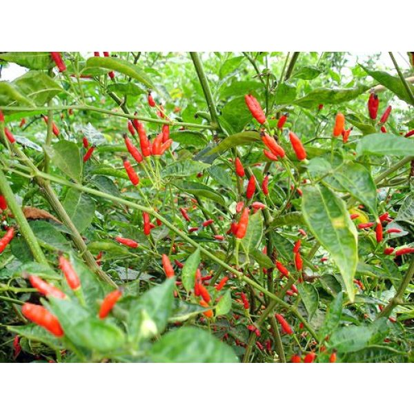 Harley Seeds Heirloom Seed 4 30+ Brazilian Pimenta Malagueta Hot Pepper Seeds Heirloom Non-GMO, Tabasco Type, Spicy, Delicious! from USA