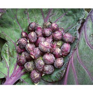 Fertile Ukraine Seeds Heirloom Seed 1 Seeds Brussels Sprouts Rosella Purple Cabbage Vegetable Heirloom Ukraine