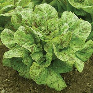 David's Garden Seeds Organic Seed 1 David's Garden Seeds Lettuce Romaine Flashy Trout Back SL3643 (Green) 500 Non-GMO, Organic, Open Pollinated Seeds