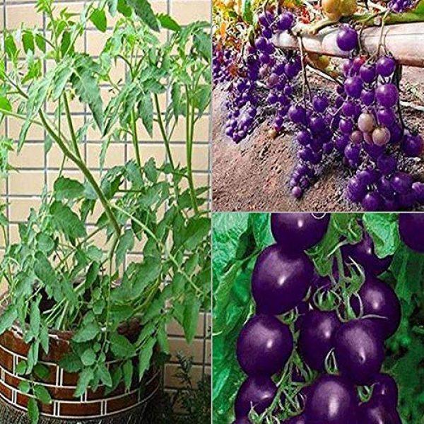 yingyi Organic Seed 4 Purple Tomato Seeds Tomato Seeds Vegetables Seeds Bonsai Vegetables Delicious Tasty Organic Seeds Tomato Plants Seeds for Planting Home Garden Yard Fruits Vegetables Bonsai Balcony Farm Indoor Outdoor